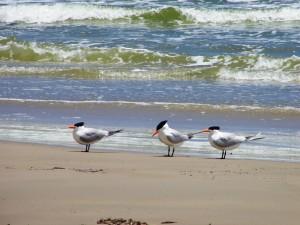 59. Caspian Tern Mustang en Padre Island 29 april 2015 060