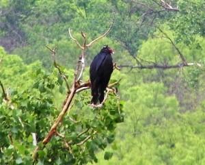 Turkey Vulture  Palo Duro Canyon 16 mei 2015 031